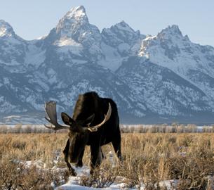 Moose in Jackson Hole
