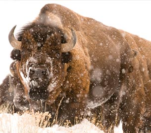 Bison in Jackson Hole