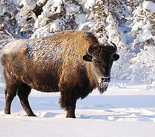 Buffalo seen during a winter wildlife safari.