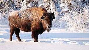 A buffalo in the snow.