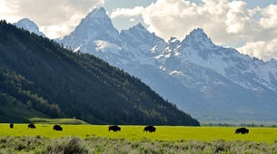 Bison in a field in front of the Tetons.