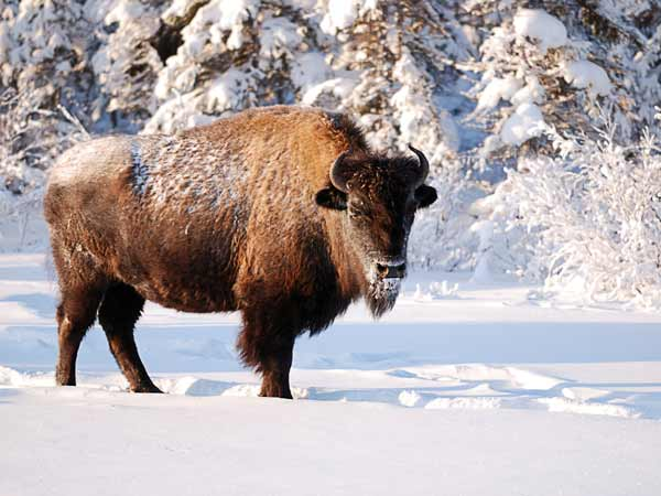 Buffalo in the snow.